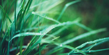 Green Fresh Grass With Drops O...