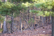 Two Large Male Wild Turkeys Walking In The Woods Away From The Camera. They Are Native To North America.