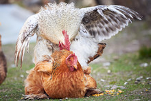 Brahma Hen And Rooster Mating,...