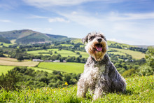 Miniature Schnauzer In The Countryside