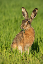 Alert Brown Hare, Lepus Europaeus, Feeding On Green Field With Blade Of Grass In Mouth. Attentive Animal With Long Ears Grazing In Spring Nature At Sunrise In Vertical Composition.