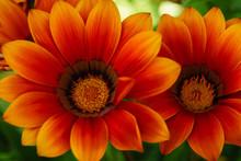 Close-up Of Gazania Flowers