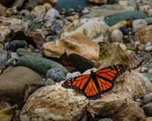 Monarch Butterfly On Rock