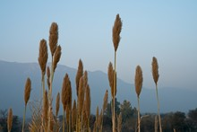 Pampas Grass Growing Behind Th...