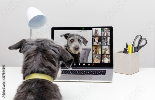 Dogs Holding Web Video Conference Call © adogslifephoto