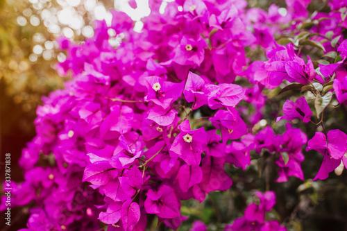 Obraz na plátně bougainvillea flowers purple bush or buganvilla, bugambilia, bunga kertas, Napol