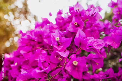 bougainvillea flowers purple bush or buganvilla, bugambilia, bunga kertas, Napol Wallpaper Mural
