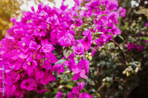 Fotografie, Obraz bougainvillea flowers purple bush or buganvilla, bugambilia, bunga kertas, Napol