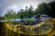 American Alligator Split Image