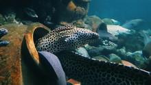 Moray Eel Swimming In Sea