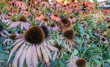 Close-up Of Coneflowers Blooming Outdoors