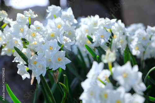 Obraz na plátně 満開の白い水仙 White narcissus in full bloom