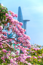 Tabebuia Rosea Or Pink Trumpet Blooming With Silhouette Of Skyscrapers Buildings Background