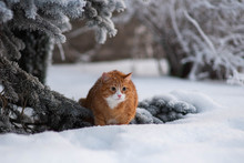 Red Cat Is Walikng In Snowy We...