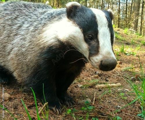 Slika na platnu Badger In Forest
