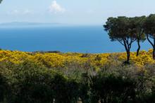 Gorse In Bloom On Mediterranean Scrub On The Island Of Elba On Tuscan Archipelago, Tuscany, Italy