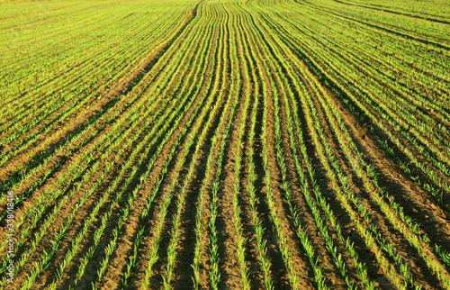 Fototapeta Krajobraz wiejski, pole obsiane zbożem, zielone kieki, przemysł rolniczy. obraz