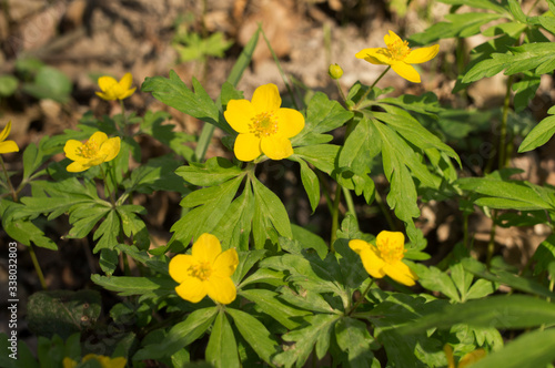 many ranunculus acris forest on a background of dried leaves Canvas Print