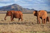 Fototapeta Sawanna - Park Narodowy Tsavo East w Kenii słonie