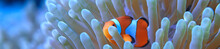 Clown Fish Coral Reef / Macro ...