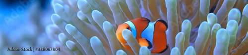 Fotografia, Obraz clown fish coral reef / macro underwater scene, view of coral fish, underwater d