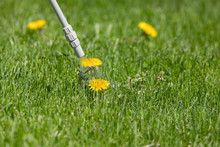 Dandelion Weed In Lawn, Spraying Weed Killer Herbicide. Home Lawn Care, Landscaping Concept