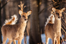 Two Yearling Deer Observing Th...