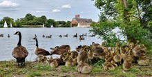 Canada Geese With Goslings At Lakeshore