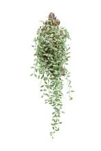 Dischidia Ruscifolia Or Dave P...
