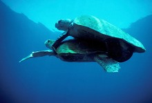 Turtles Mating In Sea