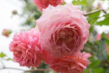 Pink Rose  Jubilee Celebration...