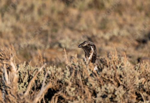 A Male Greater sage-grouse Peeking over a Sage Brush Fototapeta