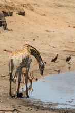 Girafe, Giraffa Camelopardalis, Impala, Aepyceros Melampus, Parc National Kruger, Afrique Du Sud