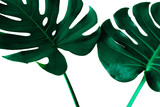 Beautiful Tropical Monstera leaf isolated on white background for design elements, Flat lay