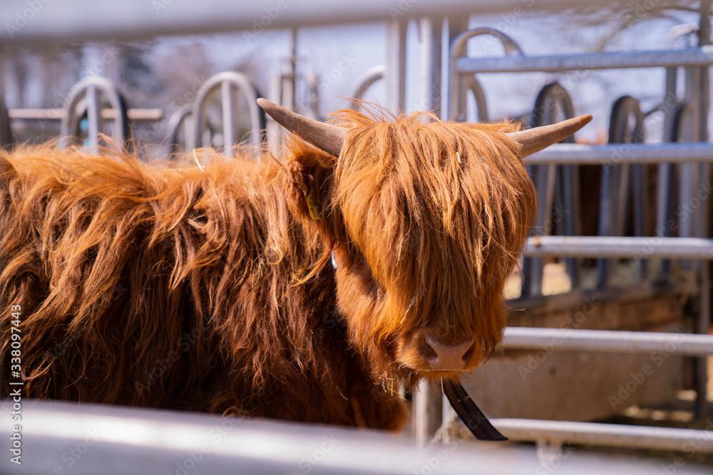 Fototapeta Higland Cattle with long hair