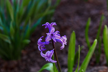 Purple Hyacinth Flowers Grow On A Flower Bed