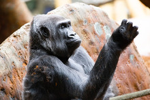 Family Of Silverback Gorillas ...