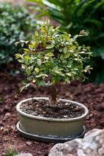 Miniature Chinese Elm Ulmus Parvifolia Bonsai Tree In Summer Garden