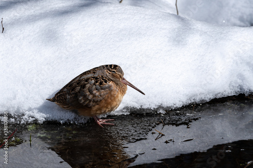 American woodcock in snow Lerretsbilde