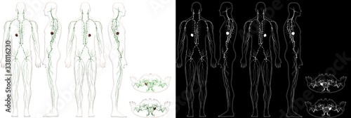 Obraz na plátně Human Anatomy Male Lymphatic Immune System With Outline