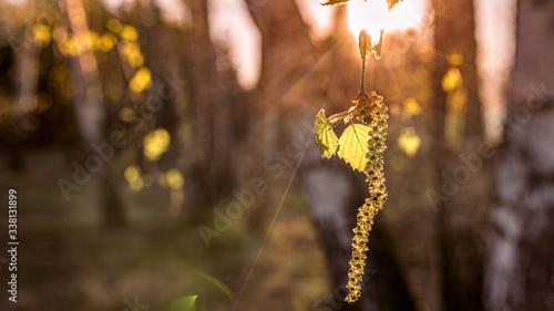 wiosna w lesie, liście brzozy - 338131899
