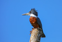 Ringed Kingfisher (Megaceryle ...