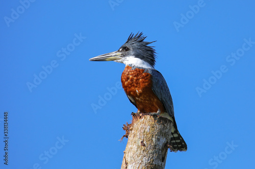 Ringed kingfisher (Megaceryle torquata) sitting on a wooden pole Fototapete