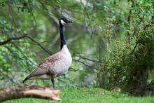 Canada Goose ( Branta Canadens...