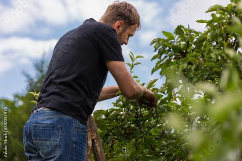 Obraz Mężczyzna przycina gałęzie jabłoni w sadzie - fototapety do salonu