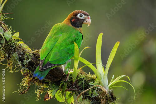 Fotomural Brown-hooded parrot (Pyrilia haematotis)