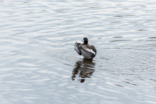 The Greater Scaup Male On The River