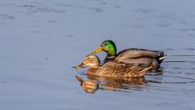Pair Of Mallard Ducks Swimming...