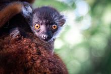 Cucciolo Lemure Madagascar