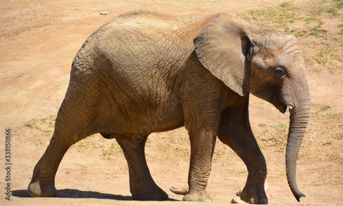 African elephants are elephants of the genus Loxodonta Wallpaper Mural